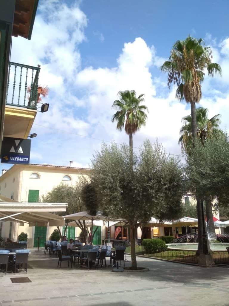 drzewo oliwne na Majorce