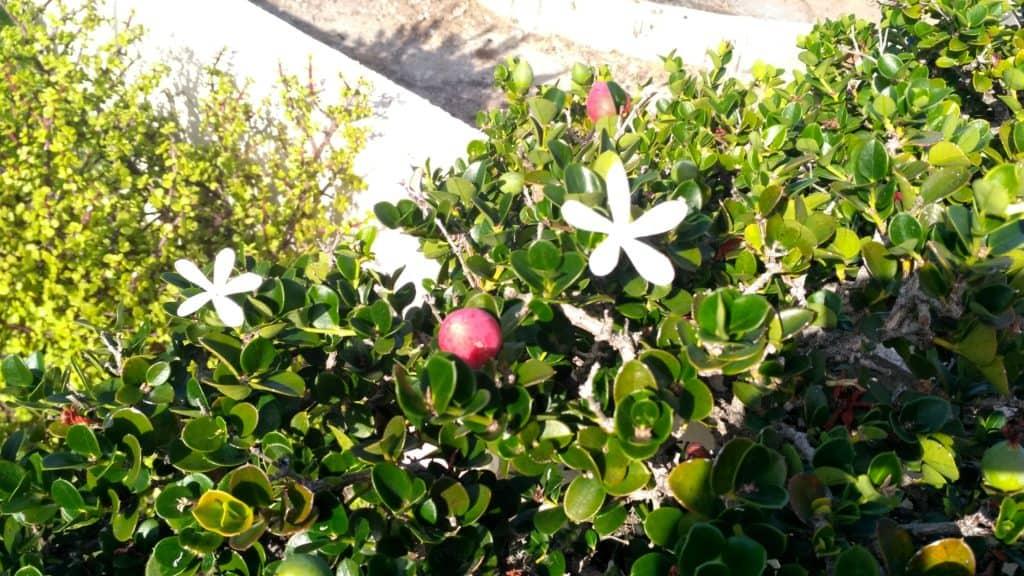 carissa macrocarpa - natal plum - carissa grandiflora