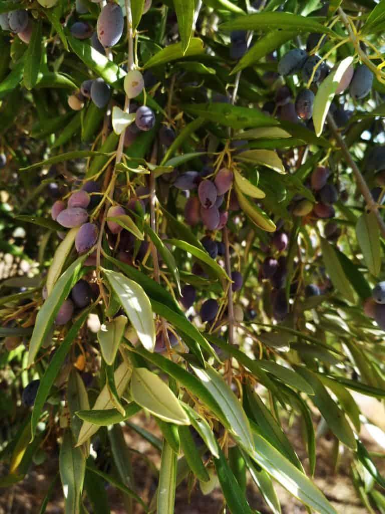 dojrzewające oliwki w październiku na krecie
