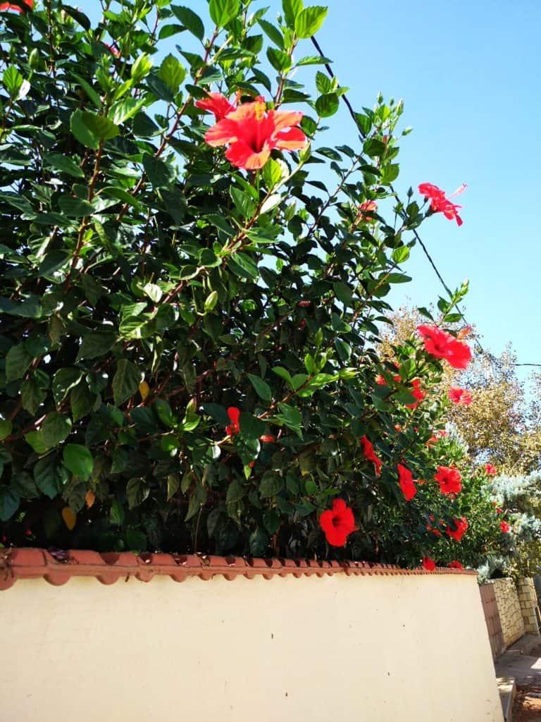 kwitnąca Ketmia róża chińska