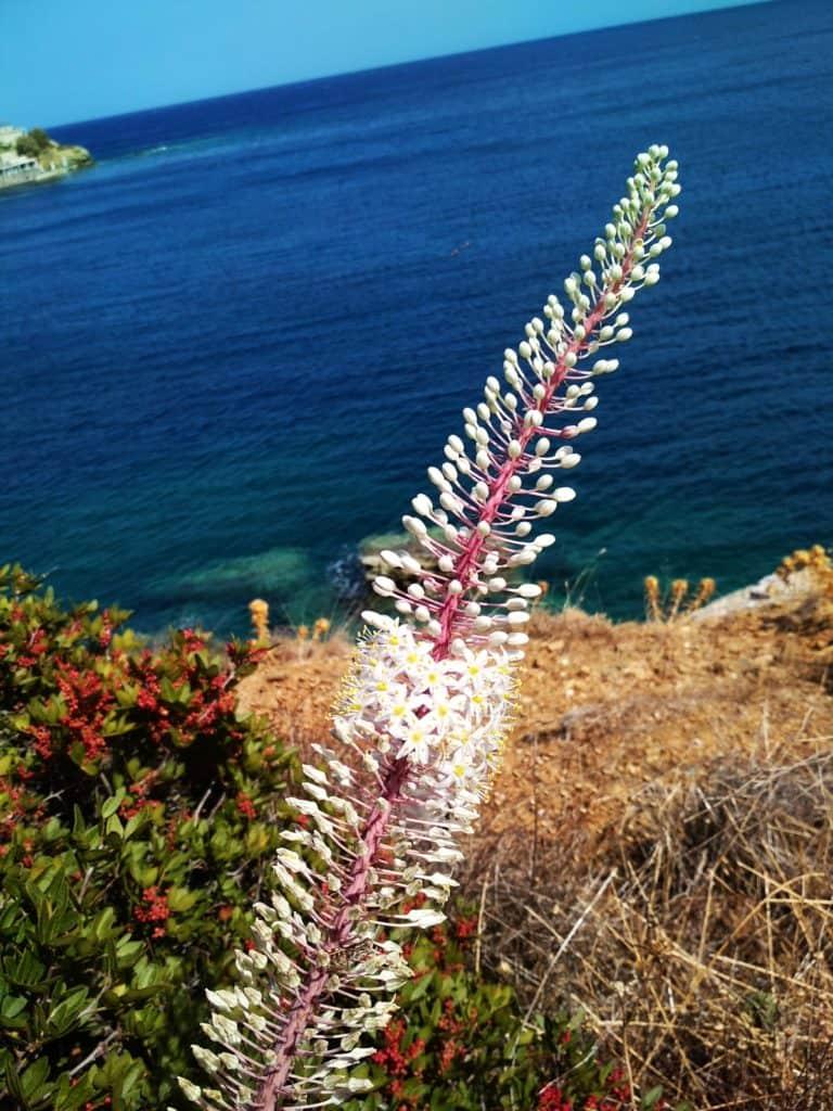 oszloch morski kwiatostan