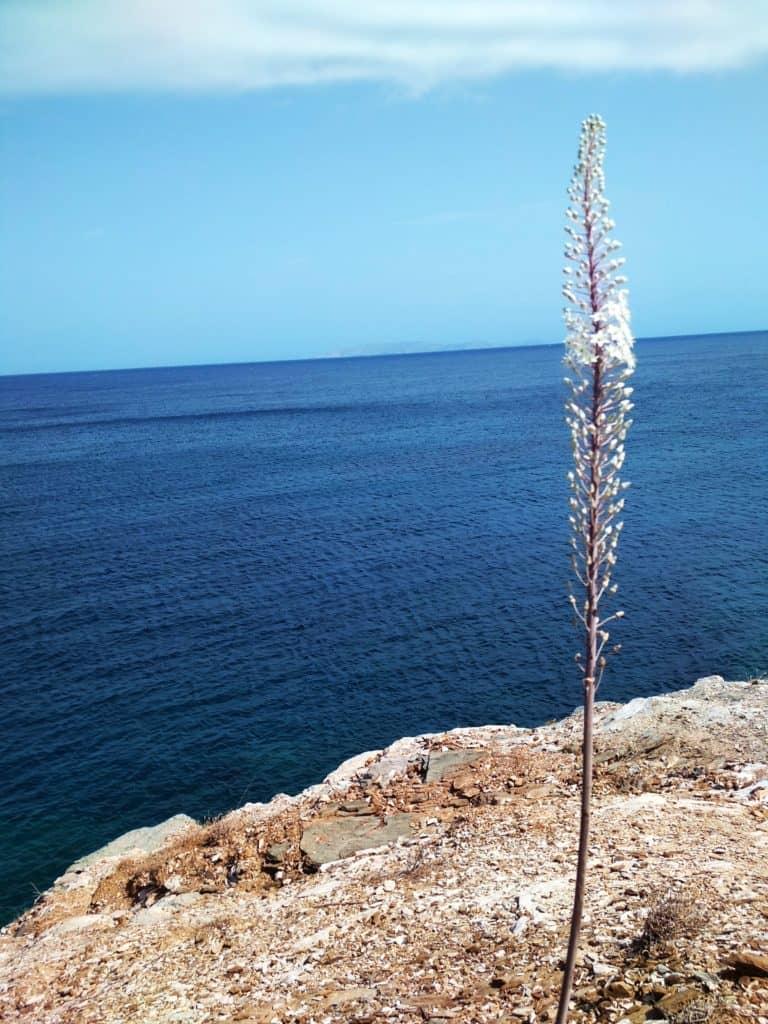 oszloch morski rosnący na skarpie